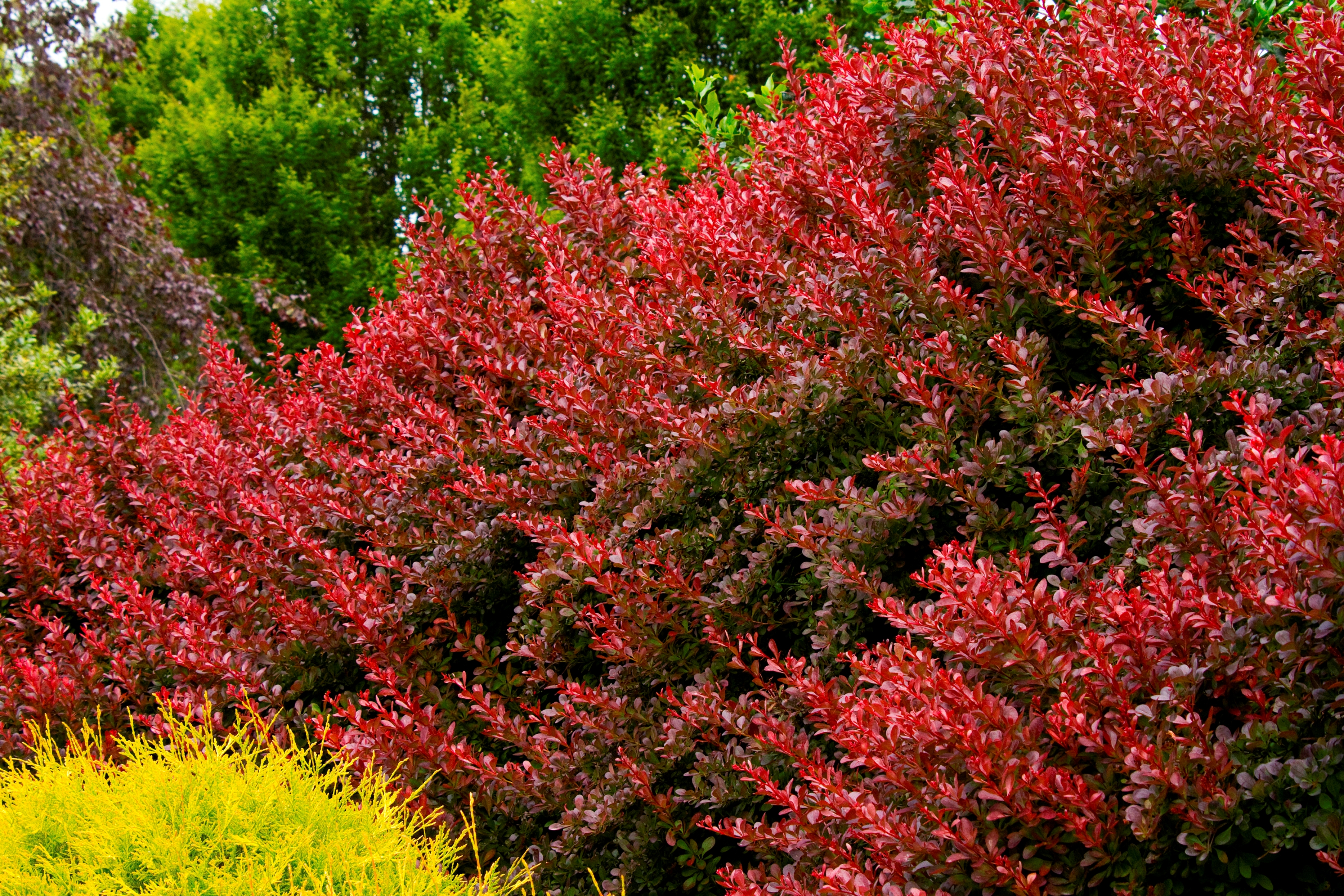 Adding colour to your garden garden landscaping for Garden shrubs